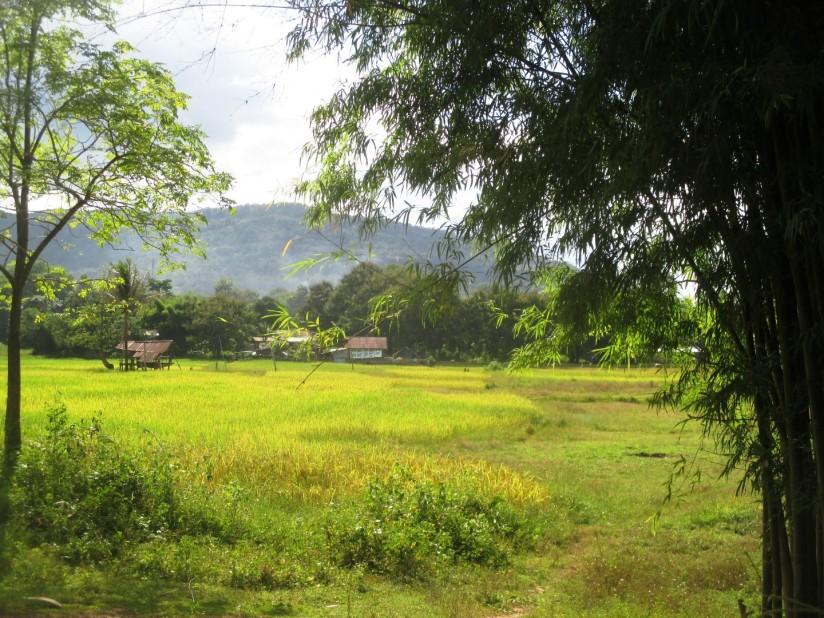 NKM rice field
